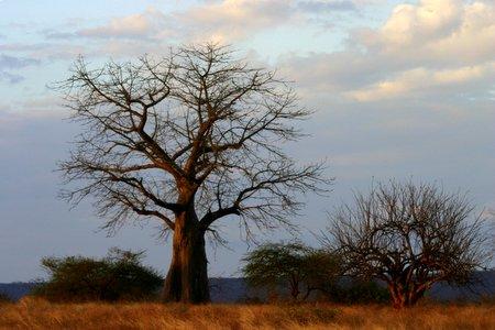 Bild eines Baobao Baums