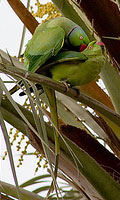 Mating parakeets in a palm tree