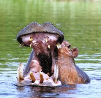 gv-hippo.jpg