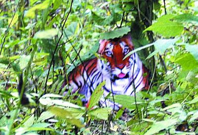 shaanxi-tiger