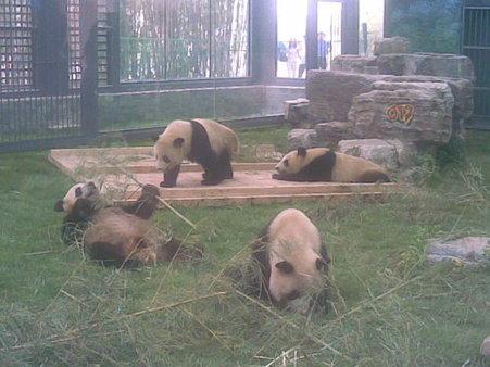 Olympic Pandas