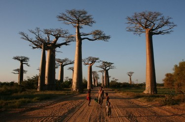 Local people on the Avenue of the Baobabs, Morondava, Madagascar. Image on Wikimedia commons, in public domain.