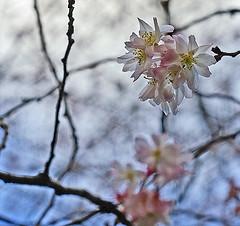 أزهار شجرة الكرز في كانون الثاني