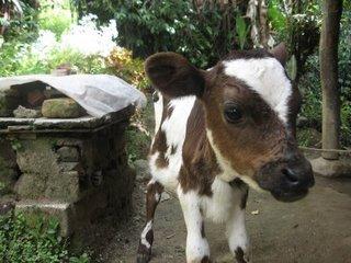vache Venezuela