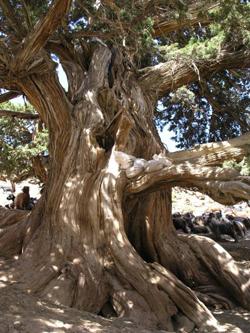 albero centenario