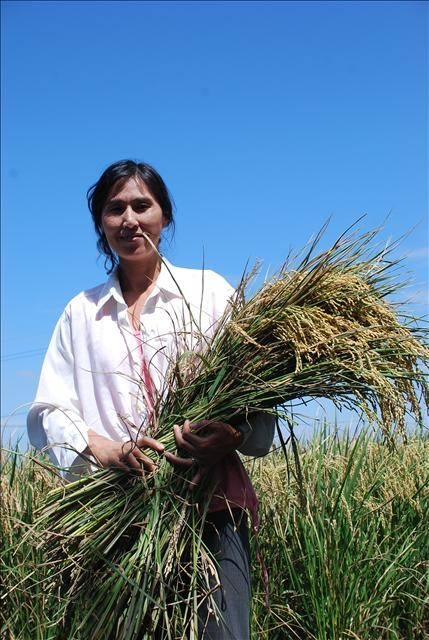 Coltivazione di riso