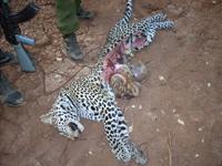Half-eaten Leopard