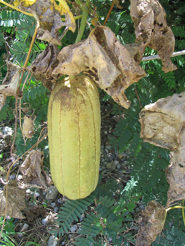 loofah gourd hanging from vine