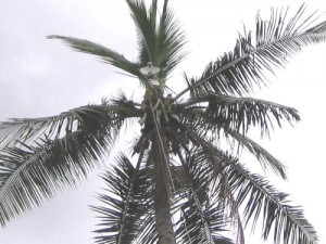 Creative broadcasting systems at the top of coconut trees (photo used with permission)