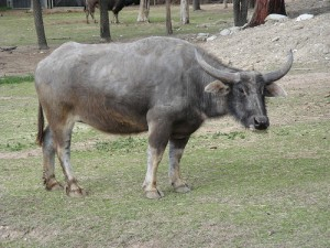 Asiatic Water Buffalo. Photo sur Flickr de cskk