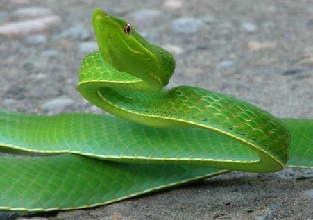 One of  the 62 species of snake in the surroundings of the Yasuni Scientific Station - Orellana province.  Photo courtesy of  the Estación Científica Yasuní and used under permission