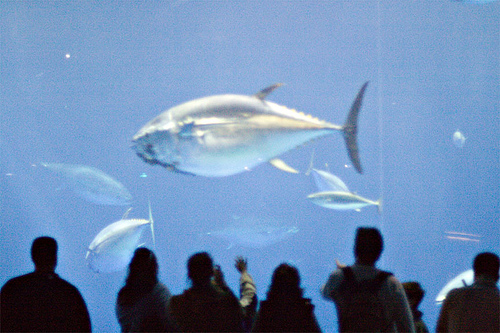 Bluefin tuna. By Flickr id: bzibble