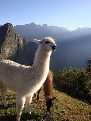 Photo of Peruvian alpaca by Craft*ology and used under a Creative Commons license.