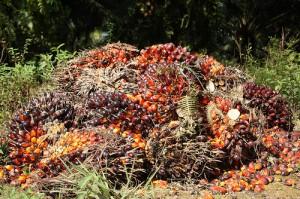Palm fruit, photo courtesy of Scott Parker