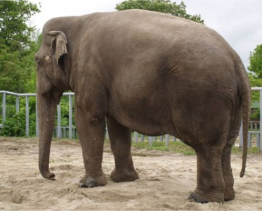 Boy the elephant before the diet