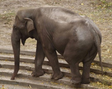 Boy the elephant after the diet