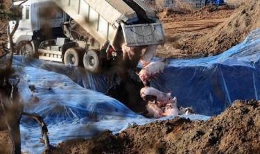 Pig culling