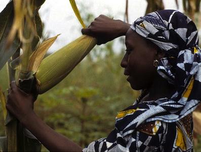 Woman farmer harvesting high yielding maize variety. Image by Flickr user IITA Image Library (CC BY-NC 2.0).