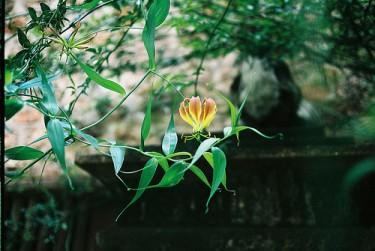 National flower of Zimbabwe, Gloriosa Superba