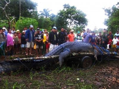 Foto von Lolong, dem gröβten in Gefangenschaft lebenden Krokodil der Welt