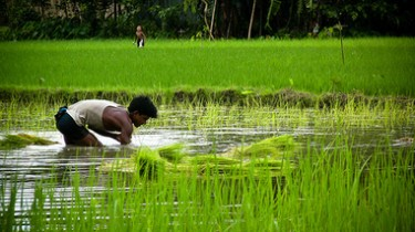 A Bangladeshi farmer re-transplanting his field due to flooding. Image by Flickr user IRRI Images (CC BY 2.0).