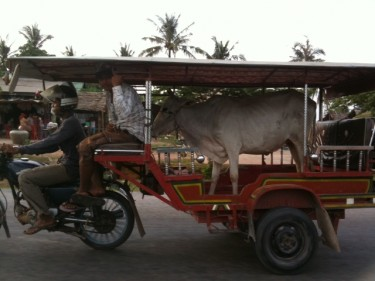 Cow in Tuktuk in Kampot, Camdodia. Photo from Tales from an Expat