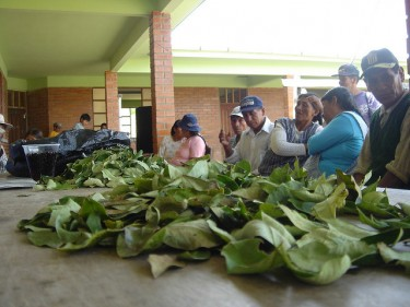Coca leaves on a table at a coca-growers' meeting. Photo by Jusada (CC BY-NC-SA 2.0)