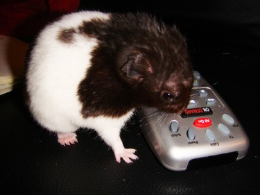 """Hamster trying to figure out the remote control"" Photo by blackpawn. (CC BY-NC-SA 2.0)"
