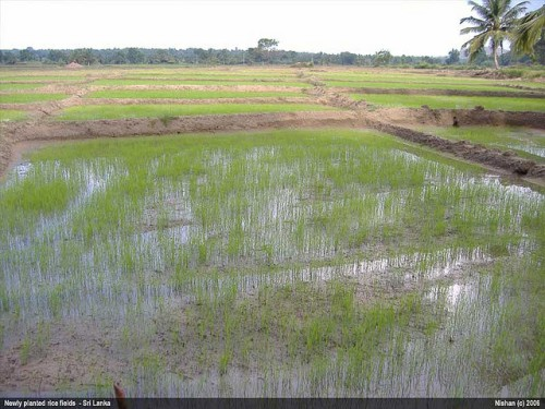 Paddy fields in Sri Lanka. Image from Flickr by Nishan.sl. Used under a creative commons license BY-NC-ND