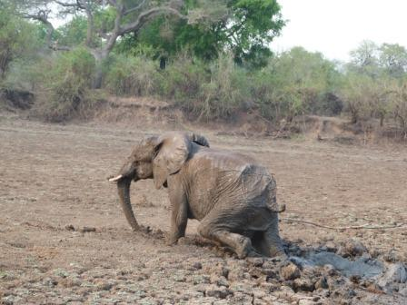 The elephant comes out of the mud. Image by Abraham Banda, Norman Carr Safaris