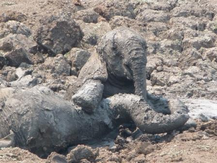 Elephants stuck in mud. Image by Abraham Banda, Norman Carr Safaris