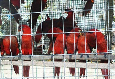 Thousands of native Solomon Islands birds were exported as captive bred. Image from TRAFFIC.