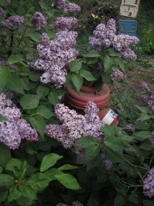 Public fire hydrant covered by a lilac in bloom. Photo by Dávid Fáber, used with permission.