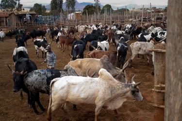 سوق ماشية الزيبو في امبالافاو