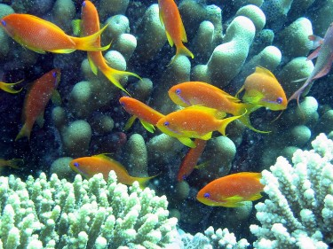 Anthia goldfish in the Red Sea from Wikimedia commons. Image in the public domain.