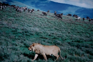 A young male lion at the hunt in Ngorongoro Crater by Brocken Inaglory on Wikimedia (CC-BY-3.0).