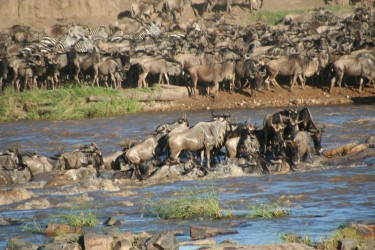 Wildebeest crossing the river by Stefan Swanepoel in Wikipedia (CC-BY-3.0).