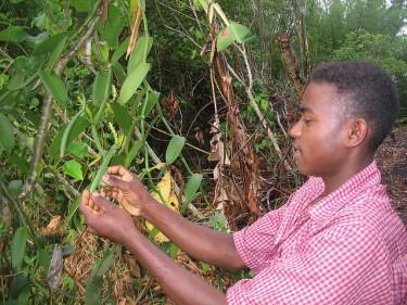 Bacelli di vaniglia in Madagascar