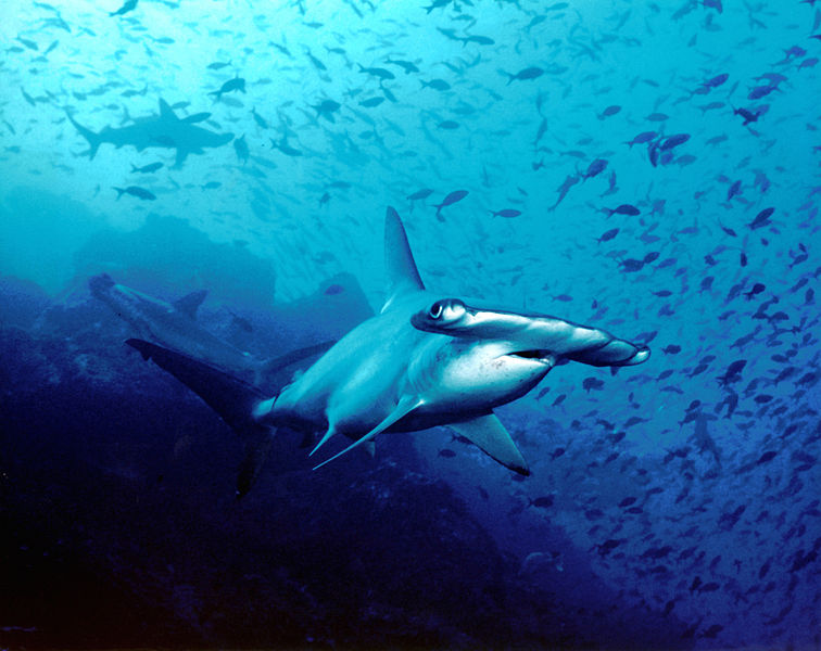 Hammerhead shark, Cocos Island, Costa Rica. Image from Wikimedia Commons, licensed under the Creative Commons Attribution 2.0 Generic license.