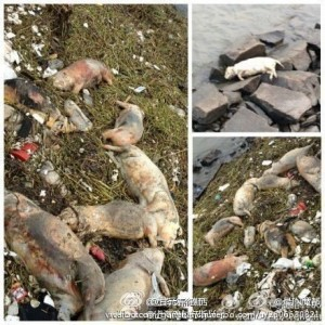 A collection of photos of dead pigs near the Huangpu River. Image from Lawyer Gan Yuanchun. Public Domain.