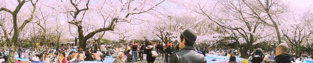Hanami at Yoyogi Park Photo by  Dick Thomas Johnson