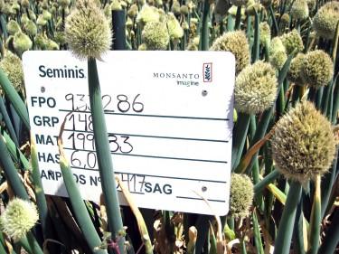 Monsanto seed crop
