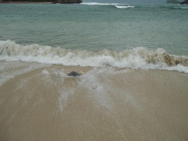 Sea turtle going home. Photo by Ma Cecilia Mendioro Gendrano