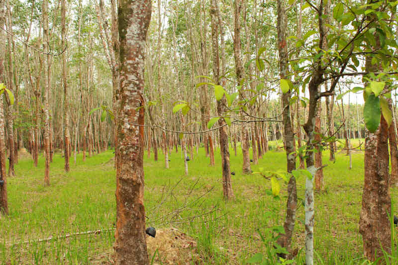 Rubber plantation in Thailand. Image from Flickr user Hanumann (CC BY 2.0)