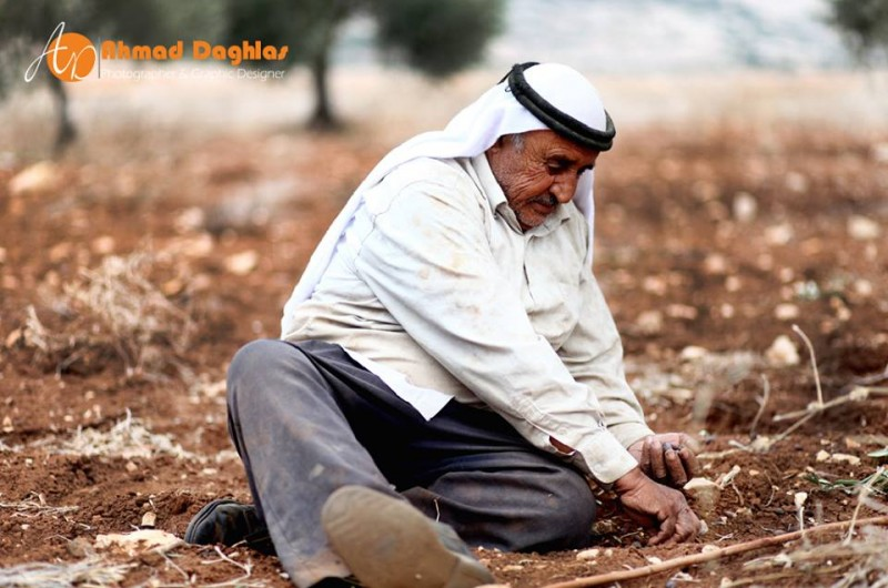 Palestinian farmer work during the olive harvest in the West Bank. Photo by: Ahmad Daghlas Taken from the Humans of Palestine page