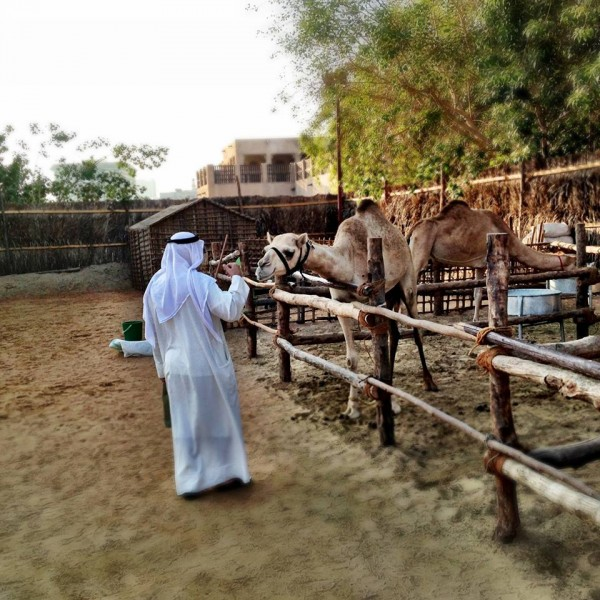 "These two camels were eating very quietly when this man walked by. He stopped, and one turned around and came closer to get a kind ""hello"" tap on the head, and got back to its food. Taken from the Humans of Dubai page."