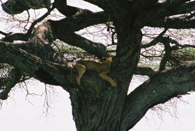 Tree climbing lion in Tanzania. Photo released under Creative Commons by Flickr user Tracey Spencer.