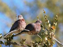Doves in rural Mali via Fasokan with his permission
