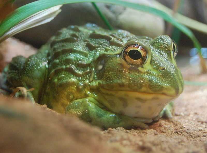 African bullfrog. Photo released under Creative Commons License by Wikipedia user Stevenj