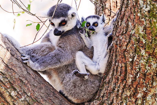 Mother lemur and her offspring by Tambako on Flickr CC-BY-2.0